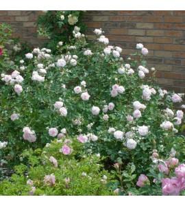 Rosemoor